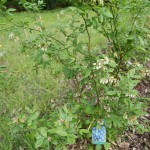 Heidelbeere (Vaccinium corymbosum 'Berkeley')