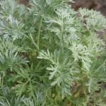 Wermut (Artemisia absinthium L.)