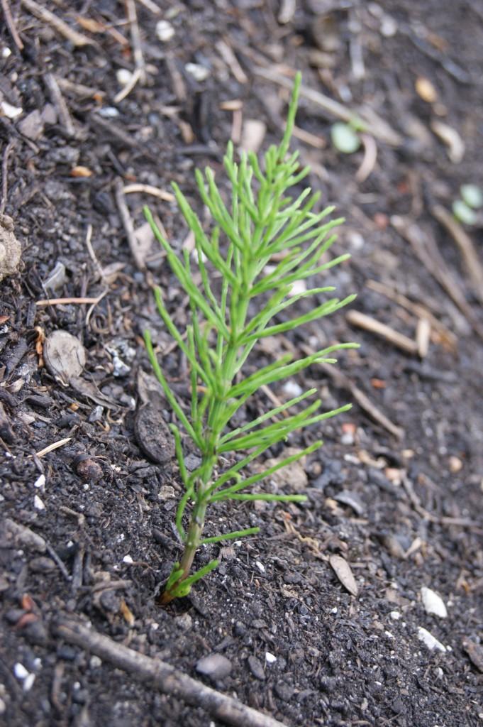 Acker-Schachtelhalm (Equisetum arvense)